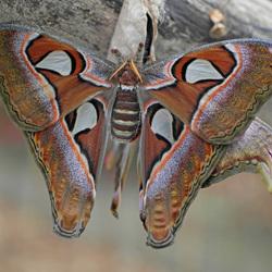 atlasvlinder 3