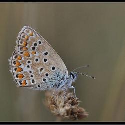 icarus vlindertje..