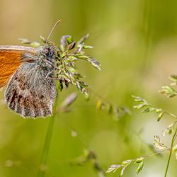 Vlinder aan de Voert