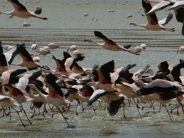 Flamingos op de vlucht - Flamingos op de vlucht bij Salar de Uyuni Bolivia