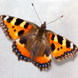 Vlinder in de vitrage