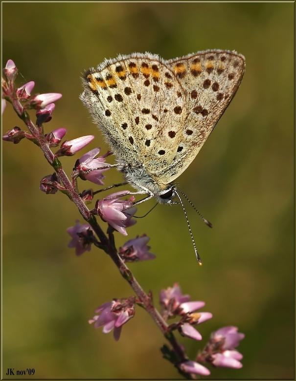 Bruine Vuurvlinder - Dit is een opname van de bruine Vuurvlinderngemaakt in augustus.<br /> <br /> Iedereen bedankt voor de reactie bij mijn vorige