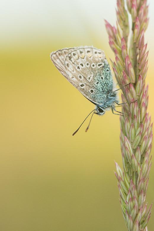 In de zon - Ik was zondag- toen scheen de zon nog - op zoek naar libellen. Helaas…. geen een gezien, maar wel een paar icarus blauwtjes.<br /> Ik wen