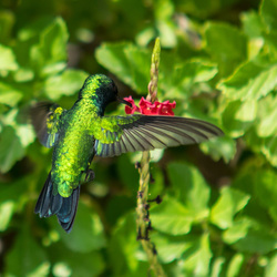 Smaragdgroene kolibrie op Curacao