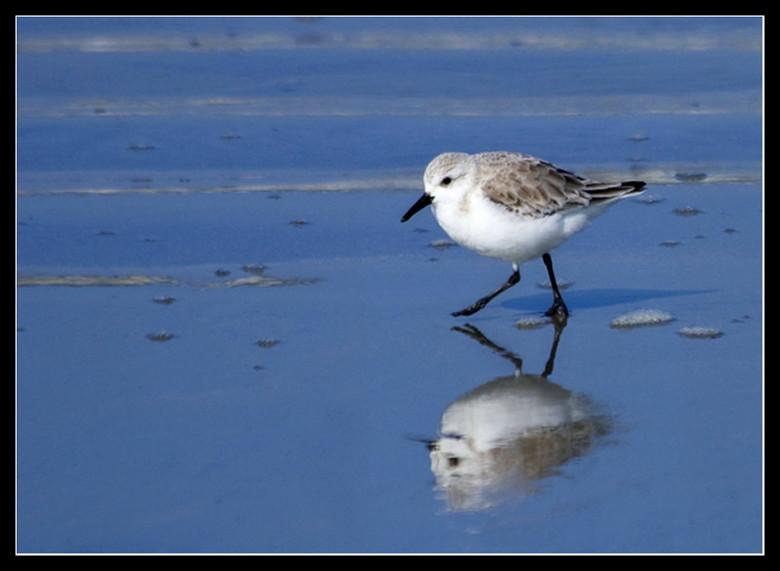 Strandlopertje - Ze zijn zo vlug als water en erg schuw maar wel leuke vogels....