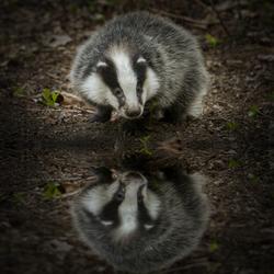 Badger ps cc