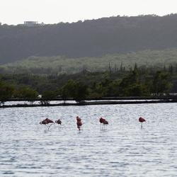 Flamingo's Curaçao