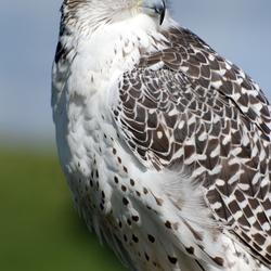 Giervalk  (Falco rusticolus)