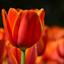 Tulip power