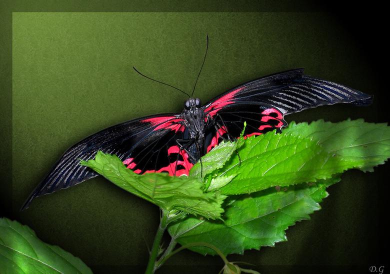 Bewerking: Vlinder - Na de reacties ben ik nog even bezig geweest met deze vlinder. Ik heb de vlinder vrijstaand gemaakt en met lichteffecten gespeeld