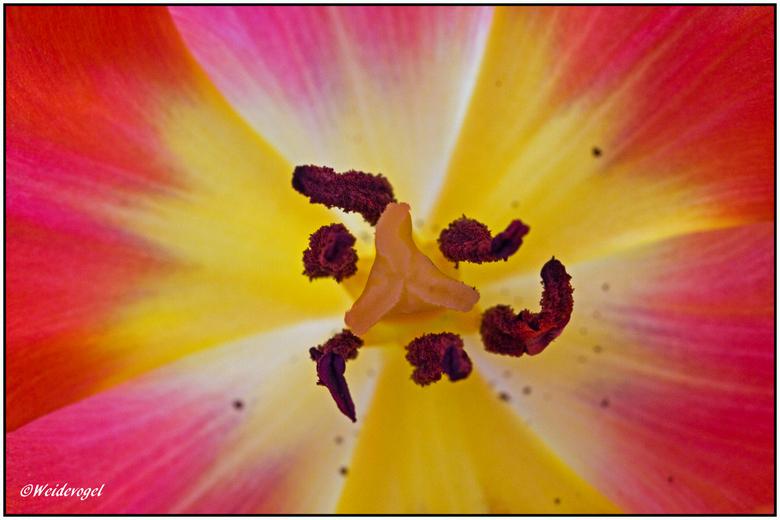 Tulp I - _MG_85441.jpg