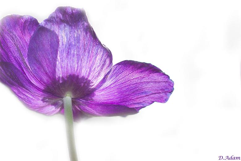 Speels - Gespeeld met een anemoon, 50 mm lens en photoshop.<br /> Hoe vinden jullie dit?