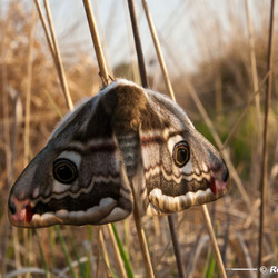 Vlinder (nachtpauwoog?)