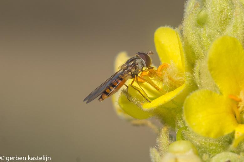 Pyjamazweefvlieg - op een mooie zomer ochtend een Pyjamazweefvlieg op een koningskaars in het bos