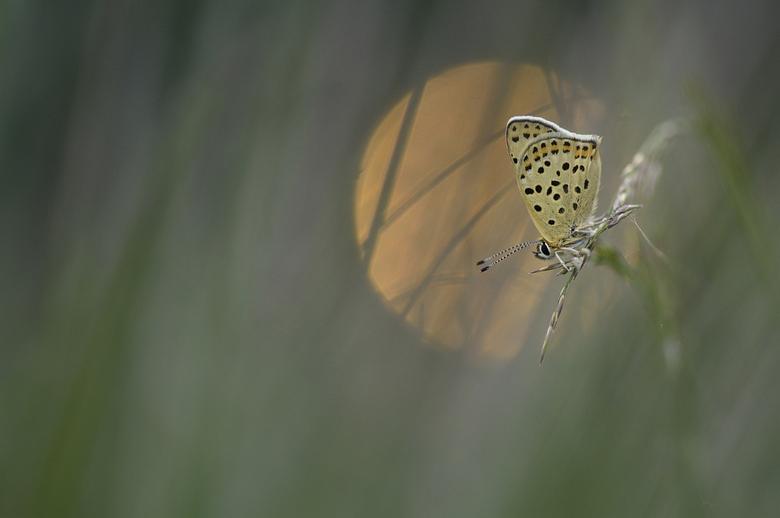 Bruine vuurvlinder - S'avonds op zoek gegaan naar vlinders, en daar trof ik deze Bruine vuurvlinder in het laatste avondlicht.