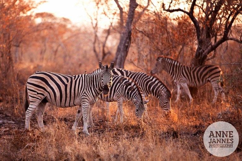 zebra sundown - zebra groep tijdens zonsondergang