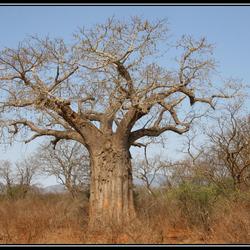 oude baobab