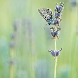 Lavendel blue