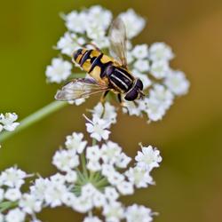 Onder vrolijk gezoem vliegt de zweefvlieg van bloem tot bloem...