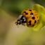 Aziatisch lieveheersbeestje