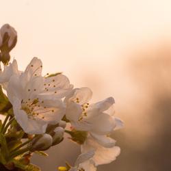 bloesem in de zon