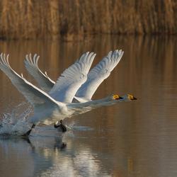 Synchroon vliegende start van de wilde zwanen