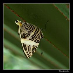 Colobura dirce