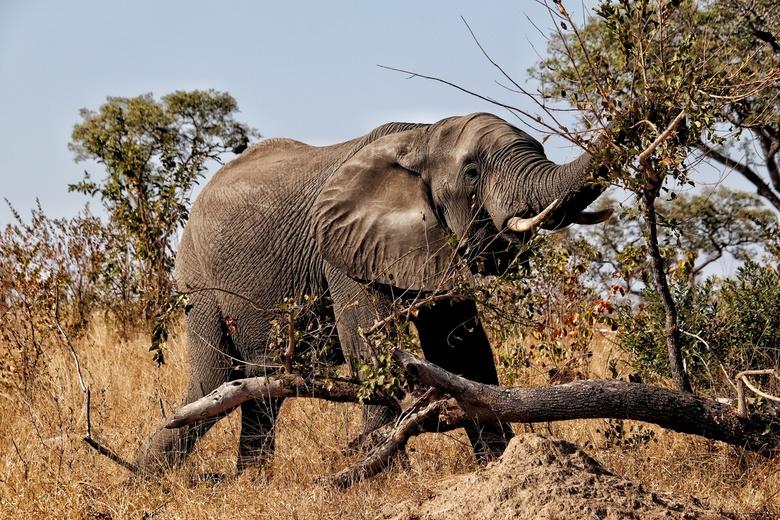 Mister Elephant  - Olifant @ Kruger National Park, South Africa