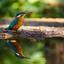 Spiegelbeeld: Ijsvogel