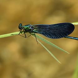 Bosbeekjuffer - Calopteryx virgo meridionalis