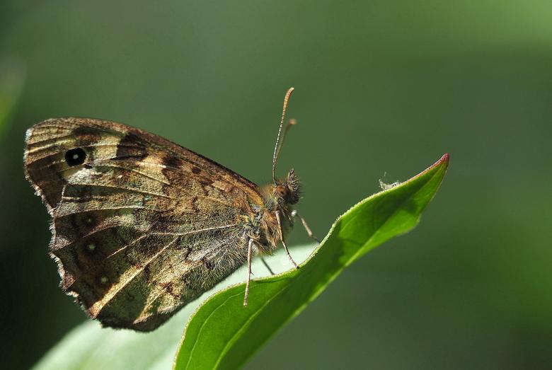 Vlindertijd... - Ze fladderen al weer aardig  rond in de tuin...