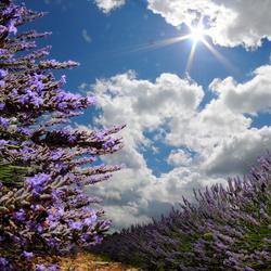 Sunny Lavendel