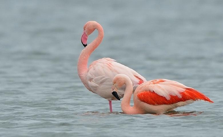 Zeeuws rose - Overwinteraars op het Grevelingenmeer
