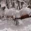 ijshaar in de sneeuw