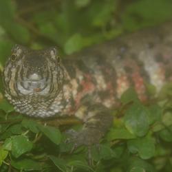 Chinese Krokodilstaarthagedis