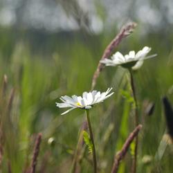 Margrietje in de polder.