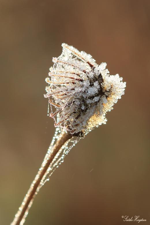 Winterse bloem - Een uitgebloeide bloem met rijp.