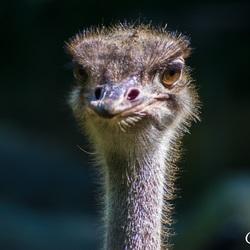 Struisvogel..