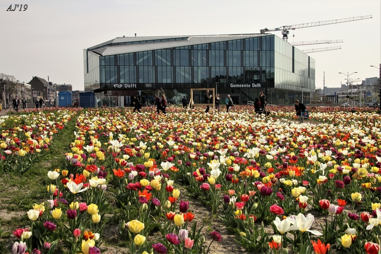 Tulpen Kijken   - Tulpen kijken in Delft <br /> Grjs.AJ62