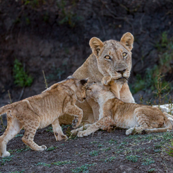 Leeuw met jongen