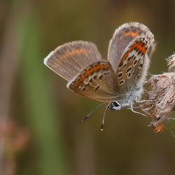 IcarusBlauwtje(vrouwtje)
