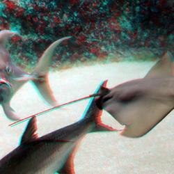 Pijlstaartrog Oceanium Blijdorp Zoo 3D