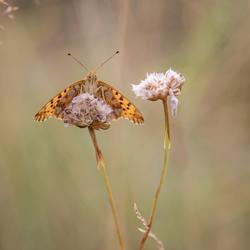 Kleine parelmoervlinder (2)