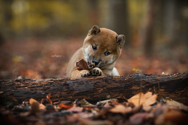Shiba puppy - Shiba Inu pup, 6 weken.