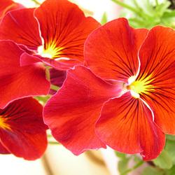 Rode viooltjes
