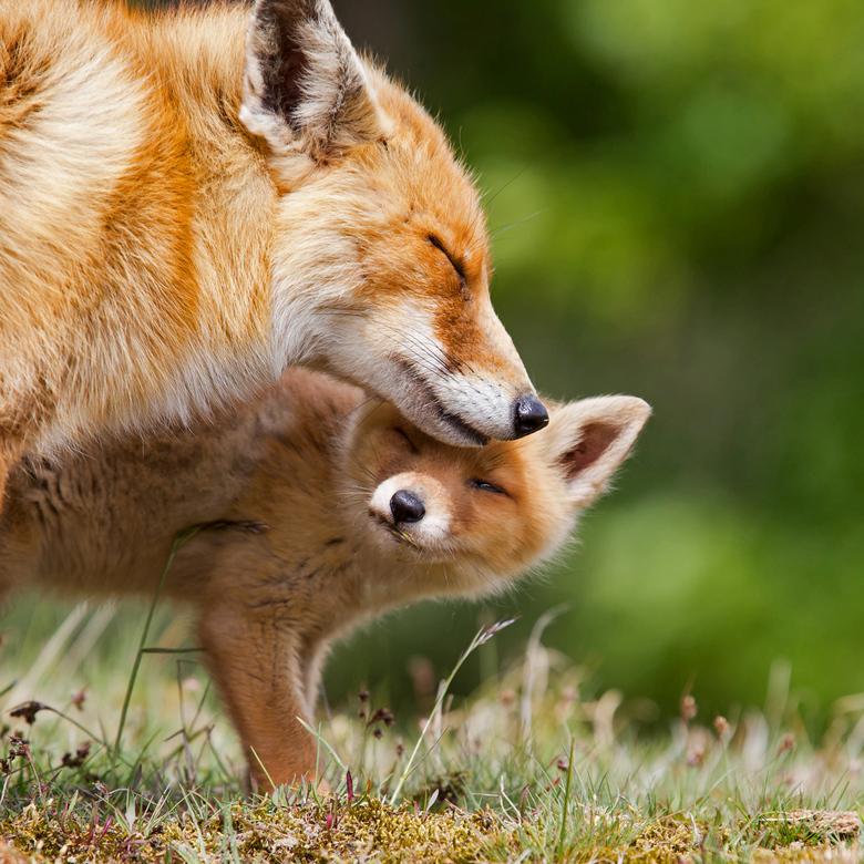 Teder moment - Moeder vos met haar jong in een teder moment even elkaar aanrakend.