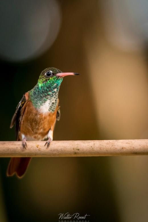 Kolibrie -
