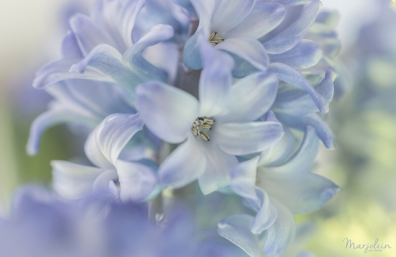 Hyacint - Ik krijg zin in het voorjaar. Zeker na het maken van deze foto.