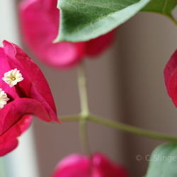 The real flower of bougainvillea