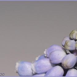 Bleu Grape